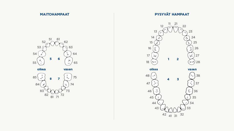 Hampaiden numerointi